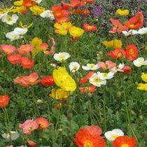 花卉种子 观赏罂粟花种子 虞美人 室内盆栽花卉 观花植物 价格:2.00