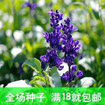 原厂彩包花种子鼠尾草 公园绿化种植种子 花卉种子 阳台种菜花草 价格:1.90