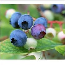 果树★北高从蓝莓★康维尔★消脂排毒水果 饮食瘦身 价格:20.00