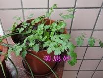 美思妙种子分享阳台楼顶种菜蔬菜种子香菜种子芳香调味菜200粒 价格:1.00