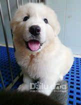 大陆犬��出售纯种大白熊犬 大白熊幼犬 大骨架�支持支付宝019 价格:1899.00