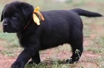拉布拉多幼犬 拉布拉多黑色 拉布拉多猎犬 缉毒犬 价格:2500.00