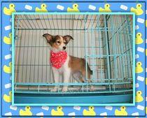 实物拍摄黄白雕色喜乐蒂视频可挑选,实物拍摄喜乐蒂牧羊犬出售中 价格:1500.00