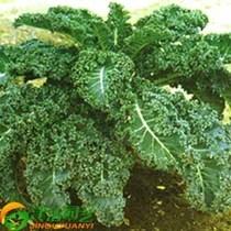 阳台种菜  蔬菜种子 羽衣甘蓝种子 绿叶甘蓝 牡丹菜 原包10克 价格:15.00
