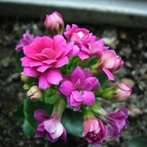 长寿花盆栽 长寿花苗 小型盆栽 多种颜色可选 价格:8.00