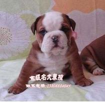 广州纯种宠物狗 纯种英国斗牛犬 出售健康斗牛幼犬 老虎狗斗牛犬 价格:6500.00