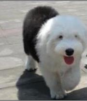 英国古代牧羊犬纯种幼犬长毛犬白头通背双蓝眼古牧犬宝宝黑白色14 价格:2600.00
