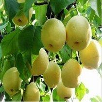 """出售果树苗木 号称""""天然矿泉水"""" 丰水梨 价格:9.50"""
