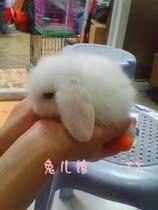 极品荷兰垂耳兔宝宝纯种垂耳兔 纯白蓝眼 已注射疫苗! 价格:260.00