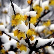 腊梅 盆栽 蜡梅 今年冬天梅花香,快开花了 6年苗 价格:120.00