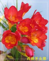 有氧室内盆栽植物 香雪兰种球 别称小苍兰  洋晚香玉   买二送一 价格:3.00
