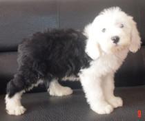 支持支付宝上海专业品质全白头古代牧羊犬幼犬宝宝古牧幼犬出售 价格:2500.00