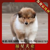 欢迎上门看狗宠物狗出售赛级纯种苏格兰牧羊犬幼犬/苏牧犬/ 价格:1200.00