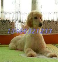◆美娜犬业 阿富汗/阿富汗猎犬/小阿富汗 办证 支持支付宝 价格:8000.00
