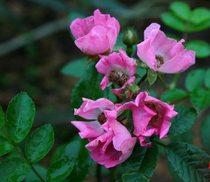 花卉月季-藤本月季-藤绣球-3年苗 点击查看更多图片 价格:13.00