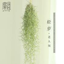 空气凤梨  无土 植物  老人须 松萝 空凤来仪