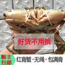 红树林生态青蟹大红膏蟹红蟳海鲜活螃蟹单价无绳子净重2斤发三只