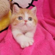 纯种活体红白加菲猫异国短毛猫宠物小猫咪幼猫妹妹低价宠物级
