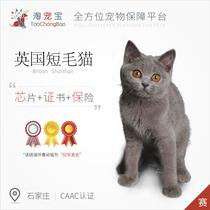 淘宠宝CAAC认证赛级猫冠军直女英国短毛猫宠物猫咪纯种蓝猫幼猫母