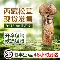 【现货】西藏松茸菌9-12cm精品500g 松茸 新鲜野生非云南新鲜松茸