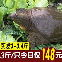 3斤甲鱼活体免邮外塘生态老鳖中华鳖王八滋补生鲜水鱼团鱼