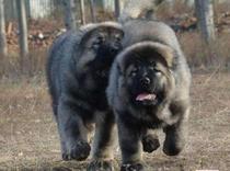 预售巨型熊版俄罗斯高加索猛犬幼犬看家护院青狼灰色高加索