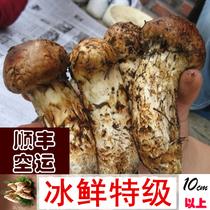 【特级】东北新鲜速冻松茸 长白山野生菌超云南香格里拉产10cm