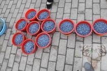 野生蓝莓鲜果大兴安岭蓝莓笃柿当天采摘新鲜蓝莓5斤一桶包邮